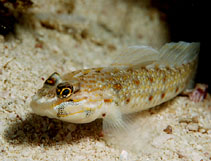 Image of Coryphopterus dicrus (Colon goby)