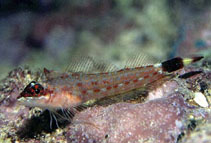 Image of Crocodilichthys gracilis (Lizard triplefin)