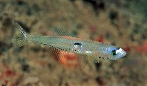 Image of Crystallogobius linearis (Crystal goby)