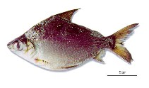 Image of Cyphocharax abramoides