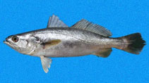 Image of Cynoscion squamipinnis (Weakfish)