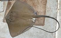 Image of Dasyatis hastata