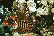 Image of Dendrochirus brachypterus (Dwarf lionfish)