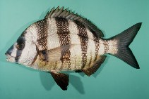 Image of Diplodus cervinus (Zebra seabream)