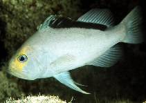 Image of Diploprion drachi (Yellowfin soapfish)