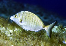 Image of Diplodus puntazzo (Sharpsnout seabream)