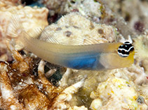Image of Ecsenius caeruliventris (Bluebelly blenny)