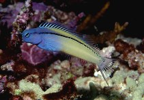 Image of Ecsenius gravieri (Red Sea mimic blenny)