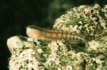 Image of Ecsenius opsifrontalis (Comical blenny)