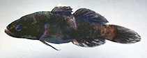 Image of Eleotris acanthopoma (Spinecheek gudgeon)