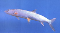 Image of Elopichthys bambusa (Yellowcheek)