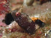 Image of Emblemaria piratula (Pirate blenny)