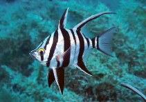 Image of Enoplosus armatus (Old wife)