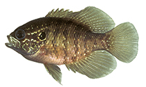 Image of Enneacanthus obesus (Banded sunfish)