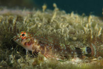 Image of Enneanectes deloachorum (Two-bar triplefin)