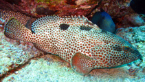 Image of Epinephelus adscensionis (Rock hind)