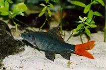 Image of Epalzeorhynchos bicolor (Redtail sharkminnow)