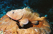 Image of Epinephelus guttatus (Red hind)