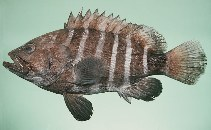 Image of Hyporthodus octofasciatus (Eightbar grouper)
