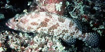 Image of Epinephelus tauvina (Greasy grouper)