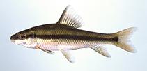 Image of Erimyzon sucetta (Lake chubsucker)