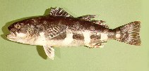 Image of Erilepis zonifer (Skilfish)