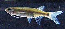 Image of Esomus ahli