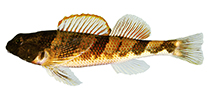 Image of Etheostoma blennius (Blenny darter)
