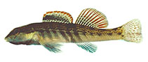 Image of Etheostoma cinereum (Ashy darter)