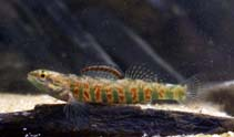 Image of Etheostoma hopkinsi (Christmas darter)