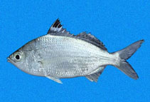 Image of Eucinostomus currani (Pacific flagfin mojarra)
