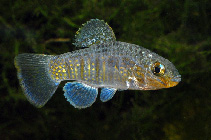 Image of Floridichthys polyommus (Ocellated killifish)