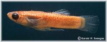 Image of Gambusia amistadensis (Amistad gambusia)