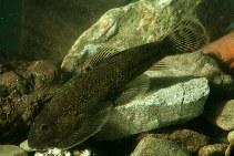 Image of Gastromyzon lepidogaster