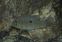 Image of Geophagus argyrostictus
