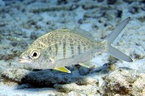 Image of Gerres cinereus (Yellow fin mojarra)