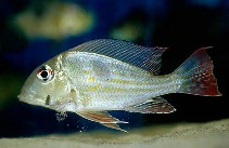 Image of Geophagus proximus