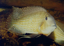 Image of Geophagus surinamensis (Redstriped eartheater)