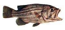 Image of Glaucosoma hebraicum (West Australian dhufish)