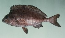 Image of Cheilodactylus fuscus (Red morwong)