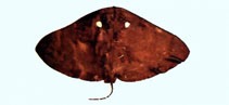 Image of Gymnura bimaculata (Twin-spot butterfly ray)