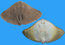 Image of Gymnura marmorata (California butterfly ray)