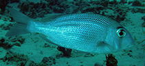 Image of Gymnocranius superciliosus (Eyebrowed large-eye bream.)