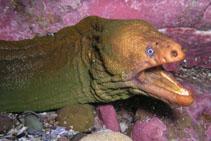 Image of Gymnothorax prasinus (Yellow moray)