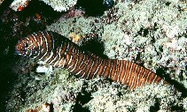 Image of Gymnomuraena zebra (Zebra moray)
