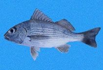 Image of Haemulopsis axillaris (Yellowstripe grunt)