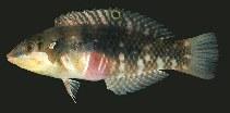 Image of Halichoeres nebulosus (Nebulous wrasse)