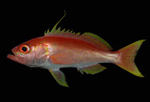 Image of Hemanthias signifer (Damsel bass)