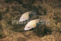 Image of Herichthys tamasopoensis (Tamasopo cichlid)