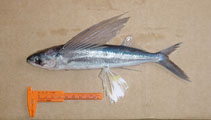 Image of Hirundichthys affinis (Fourwing flyingfish)